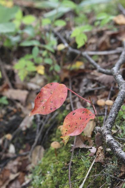 紅葉の葉2