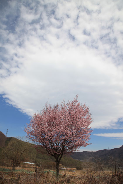17年のビブリ桜